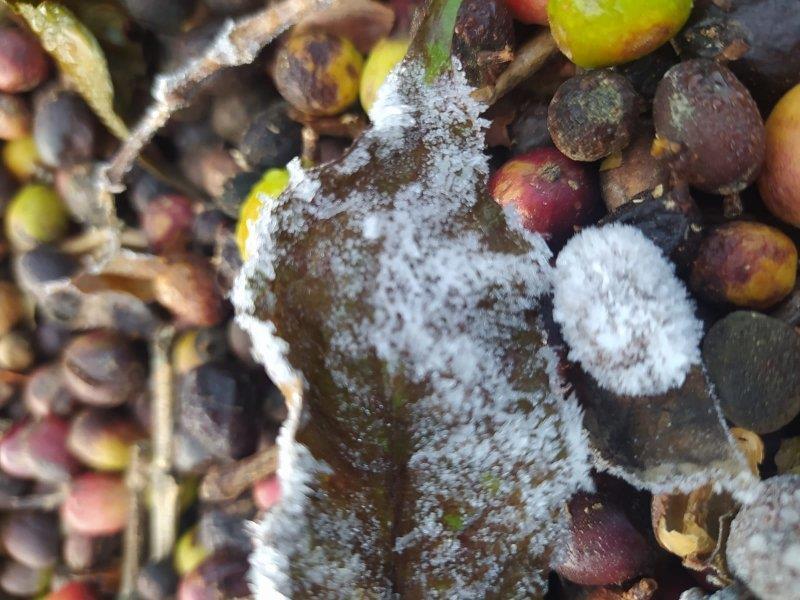 Confirmando as previsões, geada volta a atingir área de produção de café no Sul de Minas
